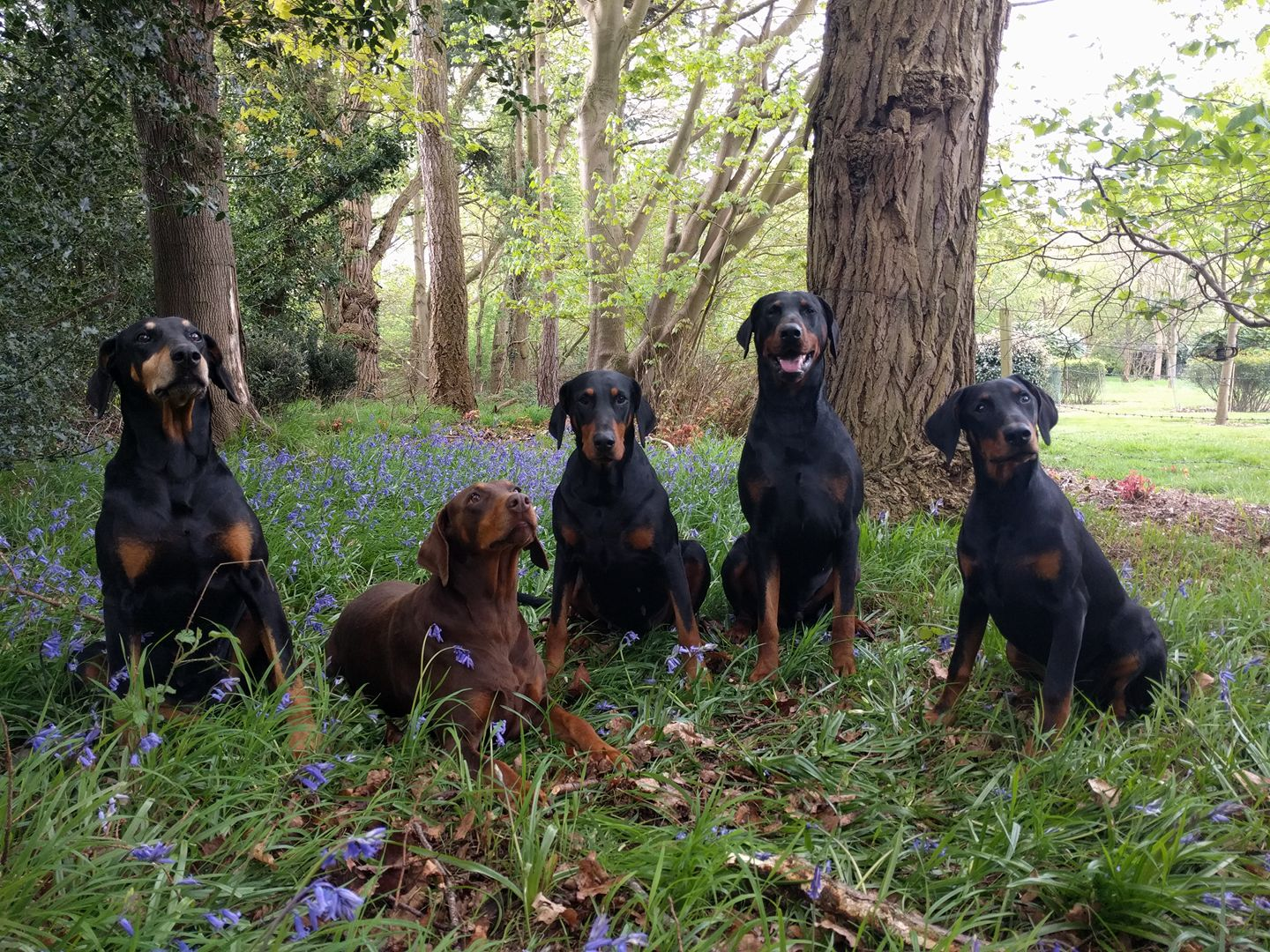 Dobermanns sitting in the woods