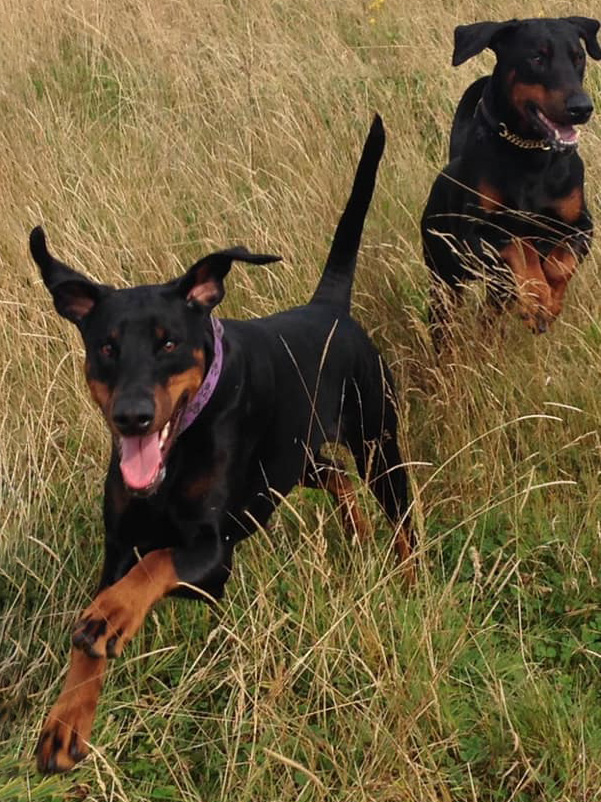 two Dobermanns running through fields